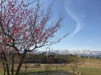 【梅が開花しました】:画像