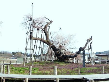 【今の長井市 〜桜とランチ〜】:画像