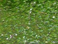 【梅花藻揺れる川面】:画像