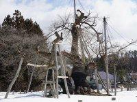 【冬の久保桜】:画像