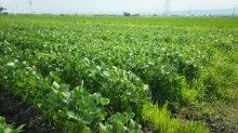 『金の枝豆』販売のお知らせ:画像