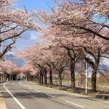 桜前線:画像
