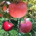 りんご狩りができます!:画像