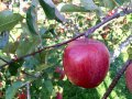 りんご狩り:画像