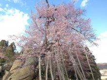 桜の情報ですよ〜:画像