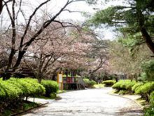 '17長井市内の桜の開花情報(4月18日):画像