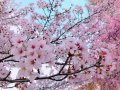 '19長井市内の桜開花情報(4月24日):画像