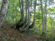 信濃沢下り中腹のブナ林:画像