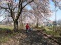 桜のトンネルができました(まほろばの緑道):画像