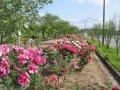 ぼたん園が開花しました:画像