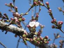 高畠町の桜開花状況:画像