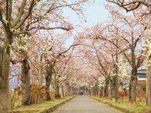 高畠町の桜開花情報:画像