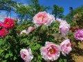 太陽館公園内の『ぼたん園』が見ごろを迎えます☆:画像
