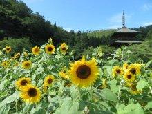 安久津八幡神社(歴史公園)ひまわり開花情報:画像