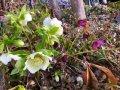 里山日記・・・春の庭に、クリスマス(^^♪:画像