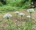 里山日記・・・冬野菜の種まき作業で鍬が…:画像
