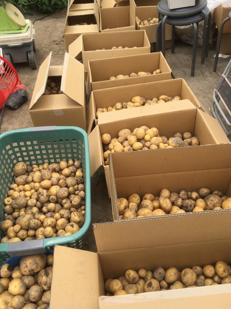 畑だより  今日は朝からジャガイモ堀り!!:画像