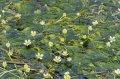 長井のまち歩きには『梅花藻マップ』を持っていこう!:画像