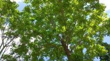 大きな木:画像
