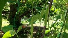 趣味の園芸やさいの時間:画像