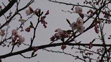 4月10日 最上川桜づつみ開花情報(No7):画像