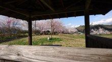 4月14日 東屋付近の垂れ桜:画像