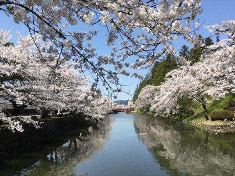 2015-4-23 松が岬公園の桜:画像