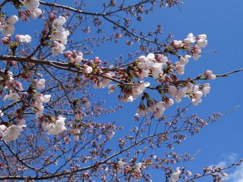 2017-4-18 松が岬公園の桜:画像