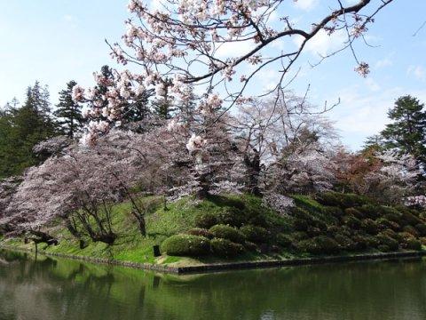 2017-4-21 松が岬公園の桜:画像