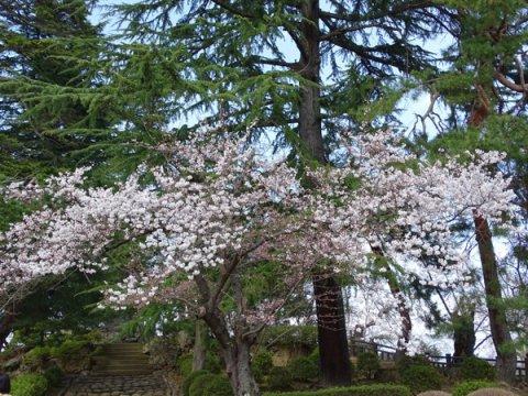 2017-4-21 上杉神社の桜:画像