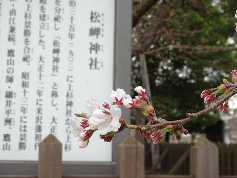 2018-4-7 桜開花:画像