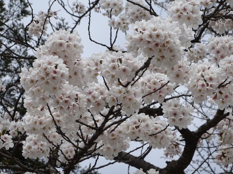 2018-4-14 桜:画像