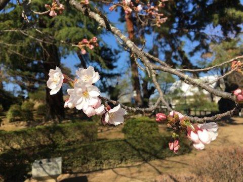 2019-4-16 上杉神社の桜が開花:画像