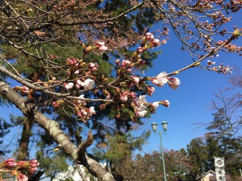 2019-4-16 上杉神社の桜:画像