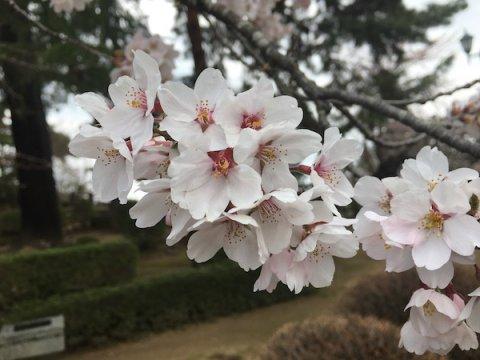 2019-4-19 上杉神社の櫻:画像