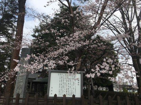 2019-4-19 松岬神社の桜:画像