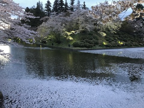 2019-4-25 上杉神社の花筏:画像
