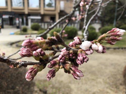 2020-4-8 上杉神社の桜:画像