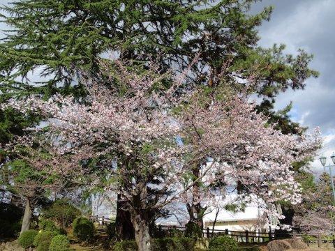 2020-4-14 上杉神社の桜:画像