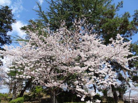 2020-4-16 上杉神社の桜:画像