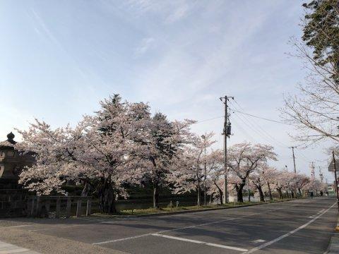 2020-4-17 松が岬公園の桜:画像