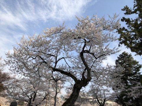 2020-4-17 上杉神社の桜:画像