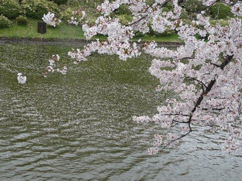 2020-4-23 松が岬公園の桜:画像