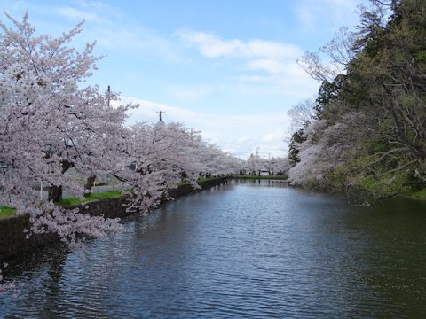 2020-4-24 上杉神社の桜:画像