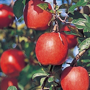 りんご 〜甘味と酸味のハーモニー〜