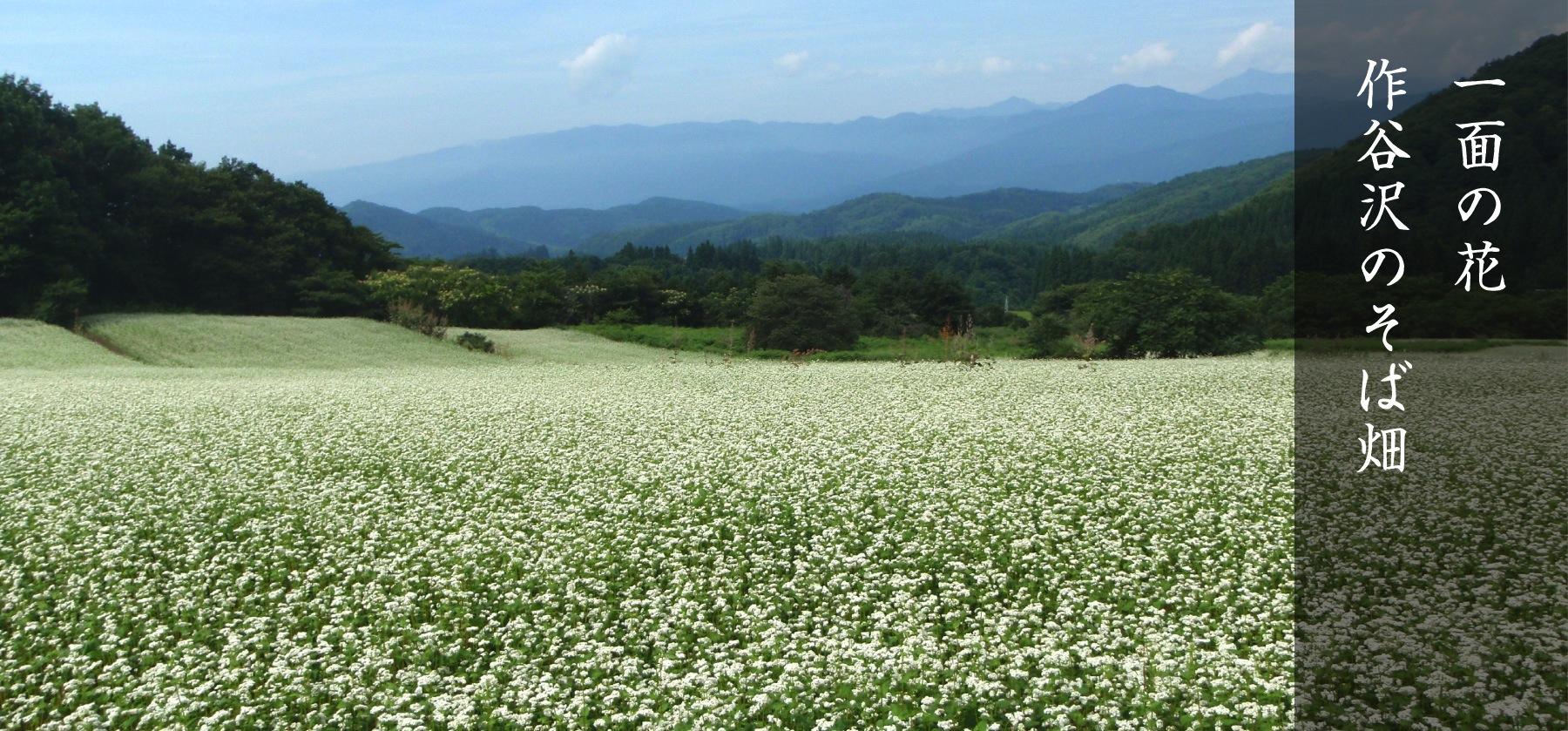 一面の花・作谷沢のそば畑