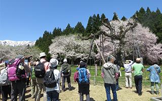 しらたか古典桜の里そぞろ歩き