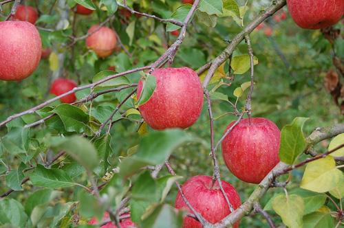 木になるりんご。