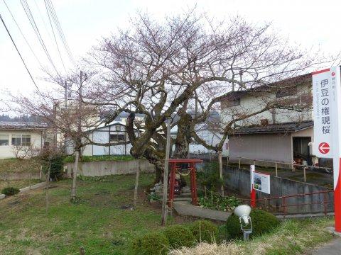 伊豆の権現桜が開花しました:画像