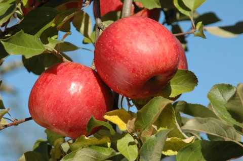 【募集】朝日町「りんごの樹オーナー制」 募集のお知らせ ※終了しました※:画像